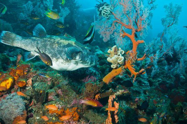 Menjangan Tauch- & Schnorchelplätze - Kofferfisch