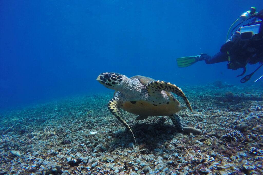 Fotogalerie - Amed Tauch- & Schnorchelplätze - Meeresschildkröte am Batu Dawa Tauchplatz