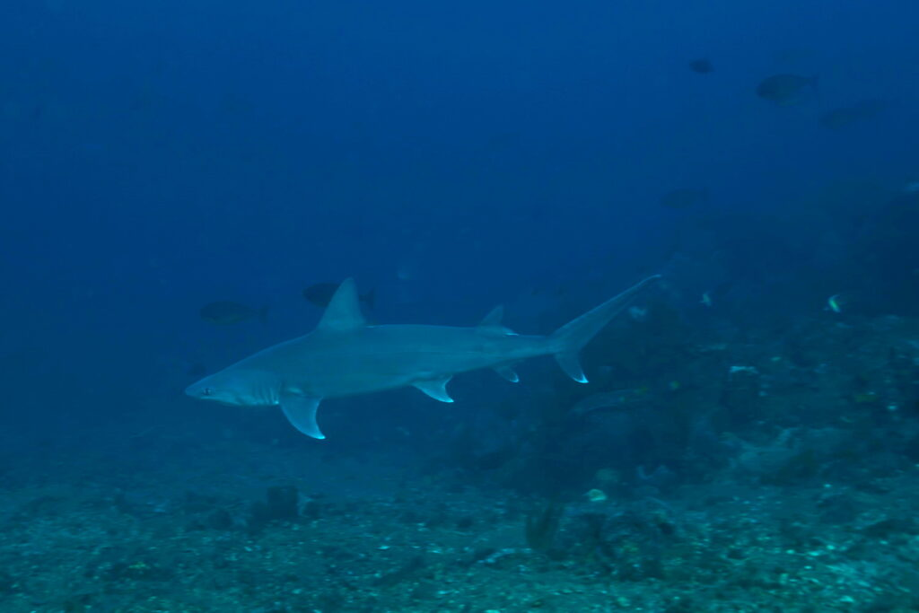 reef shark at Batu Dawa dive site