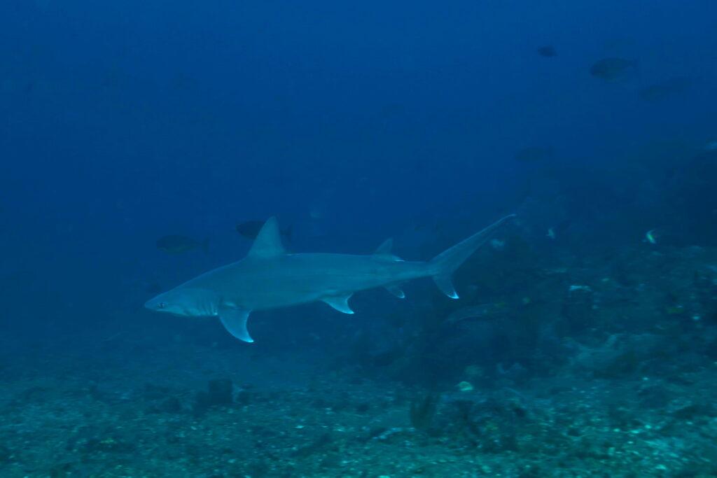 Tiburón de arrecife en el sitio de buceo del área de Amed