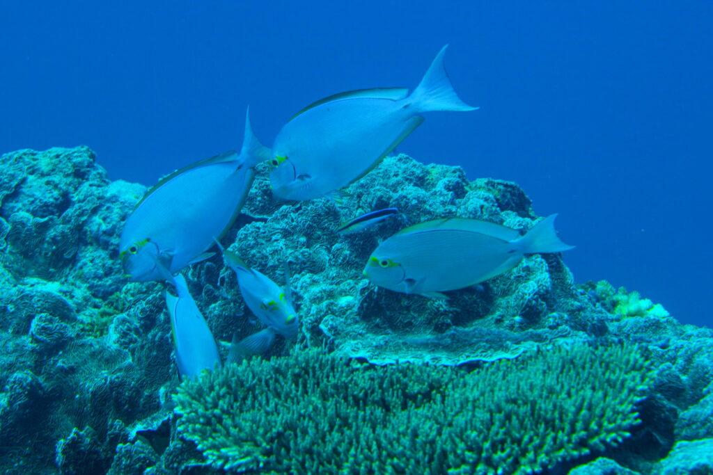 coral fish grasing at coral