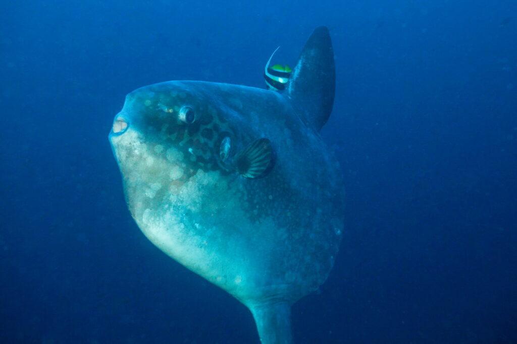Mola Mola - pez luna