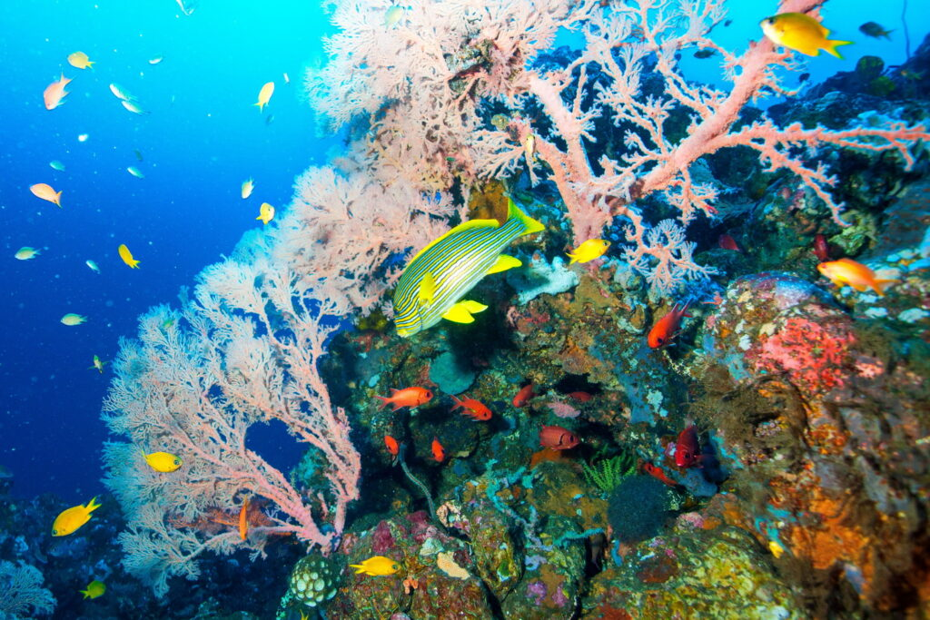Coral y peces de coral en el sitio de buceo de Batu Niti