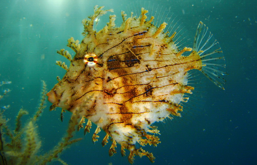 pez globo en Candidasa & Nusa Penida Sitios de Buceo