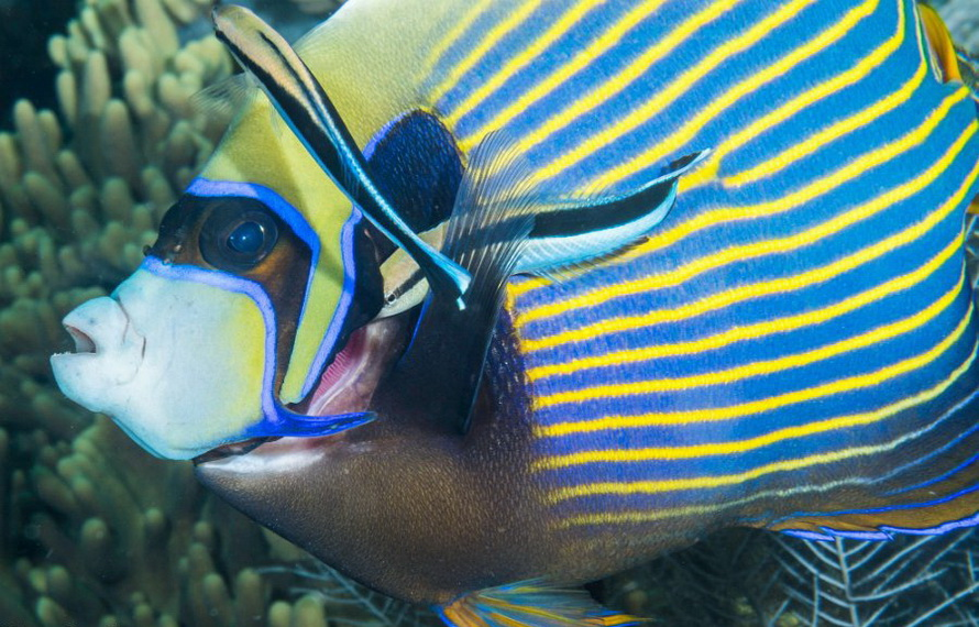 Candidasa & Nusa Penida Tauchplätze - tropischer Fisch