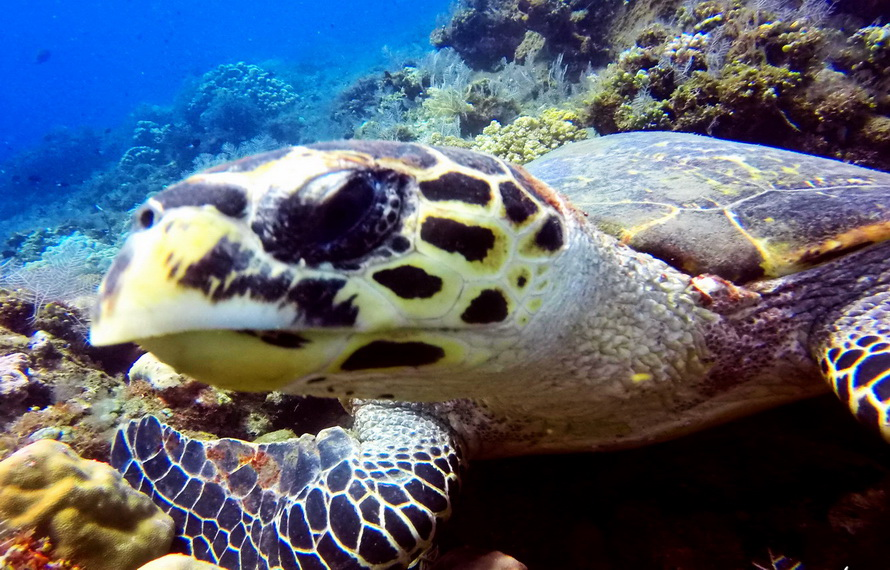 Candidasa & Nusa Penida Tauchplätze - Meeresschildkröte