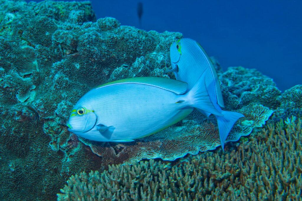 Korallenfische, die an Korallen grasen