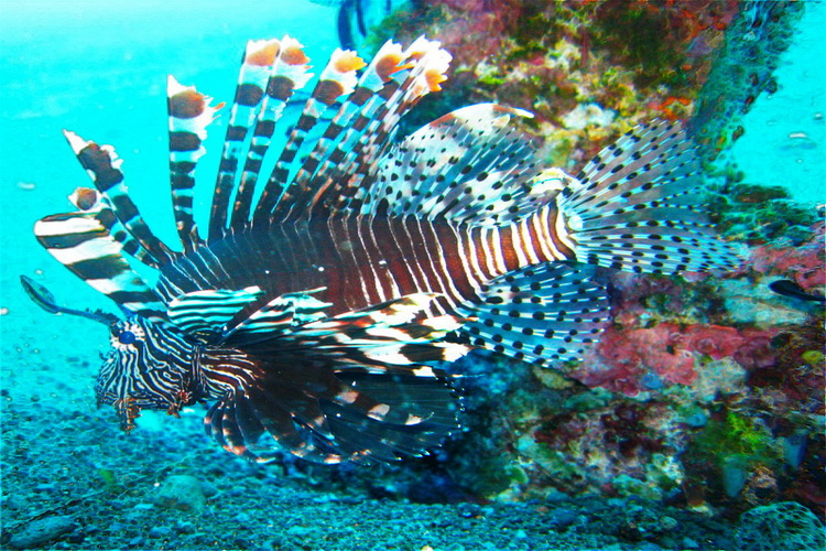 lion fish at Amed Bay