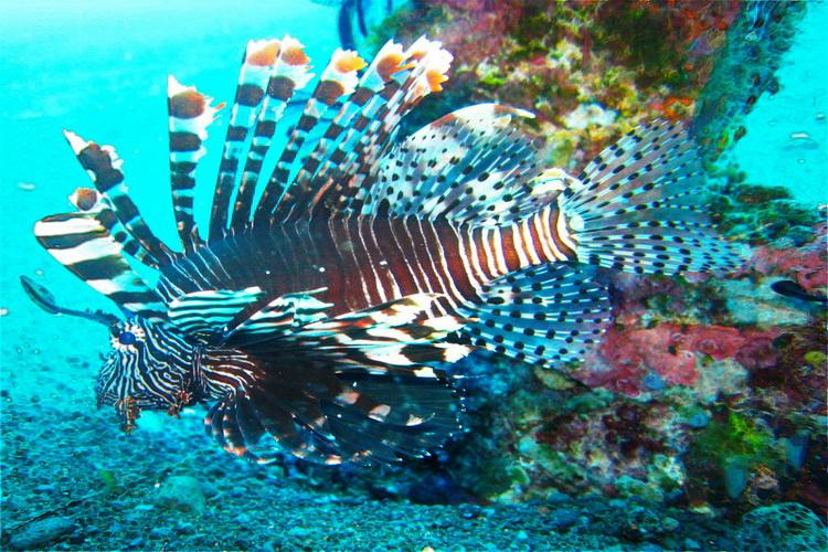 images & information - lion fish at Amed Bay