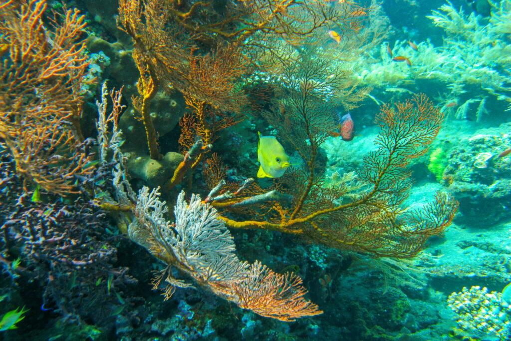 Korallenfische am Batu Dawa Tauchplatz