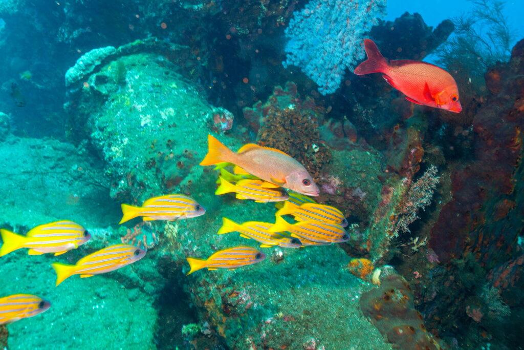 Peces dentro del naufragio Liberty en Tulamben Bali