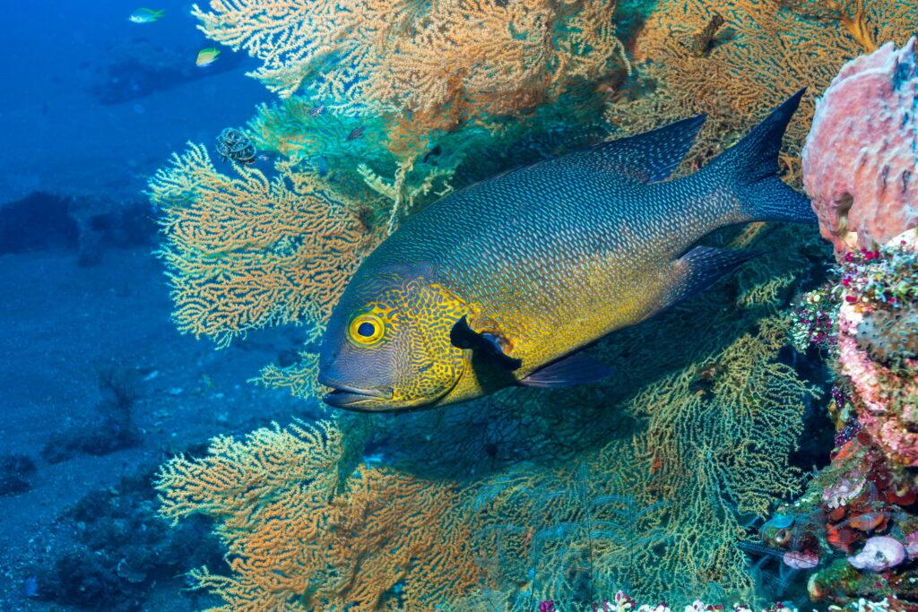 Peces en coral en Tulamben