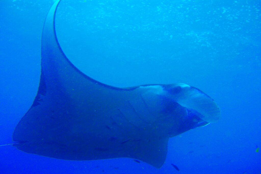 Candidasa & Nusa Penida dive sites - manta ray at manta point