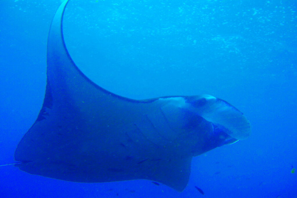 manta ray en manta point Nusa Penida