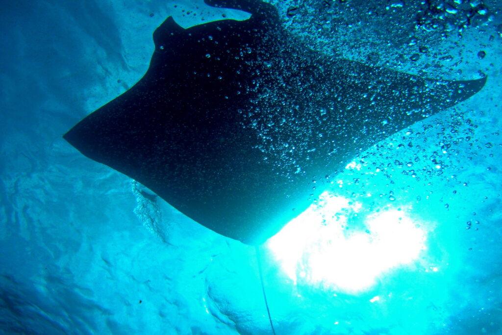Candidasa & Nusa Penida dive sites - manta ray at Nusa Penida