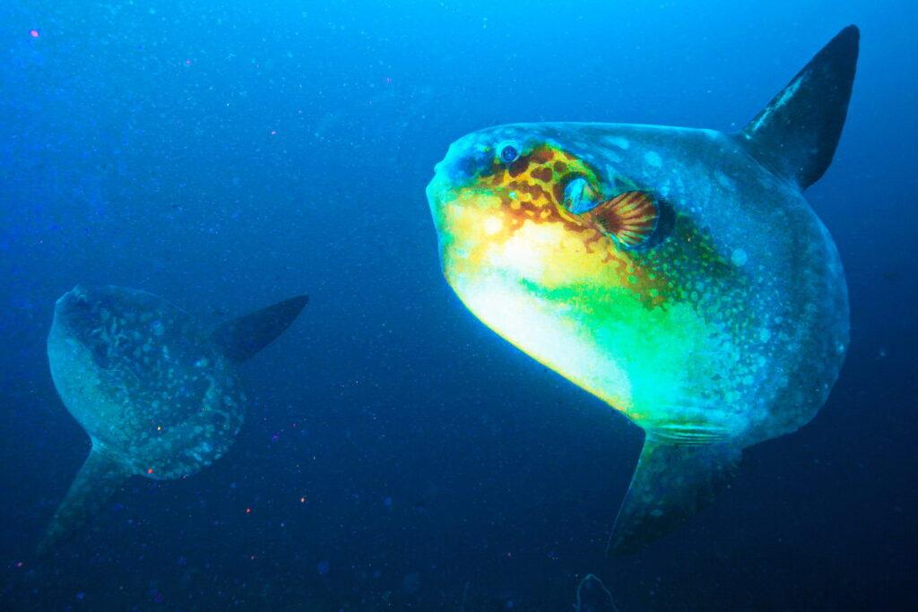 Mola Mola (pez luna) en el sitio de buceo de Batu Niti