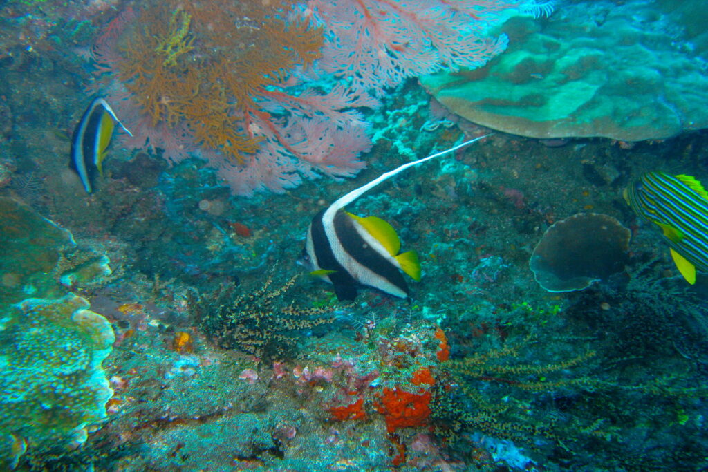 butterfly fish at amed dive site