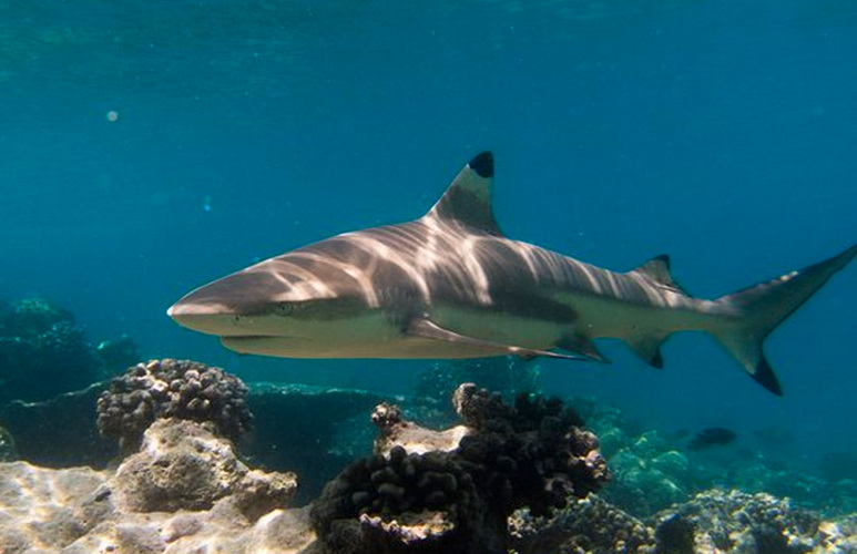 Candidasa & Nusa Penida dive sites - reef shark