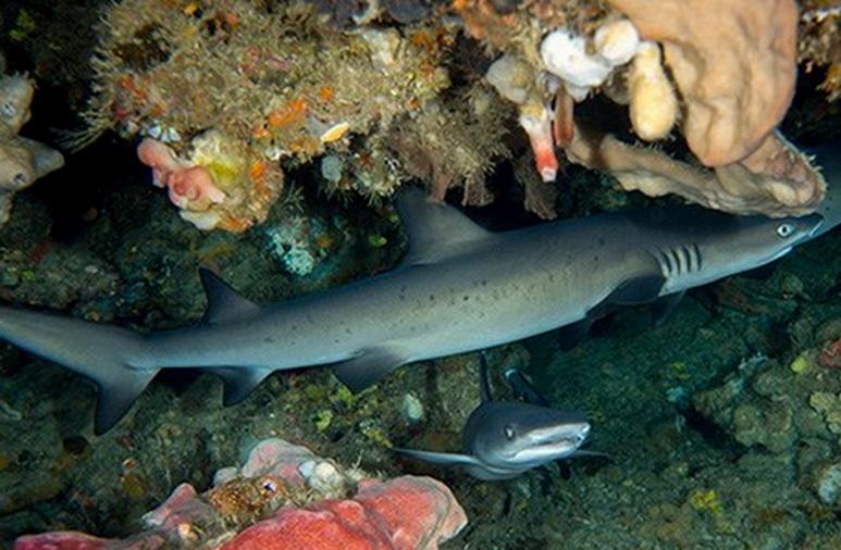 Candidasa & Nusa Penida Tauchplätze - Hai am Riff