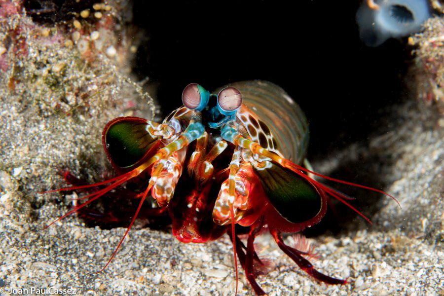 Krabbe in Muschel