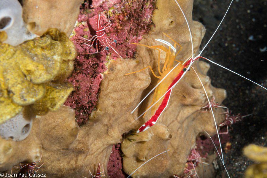 un camarón sobre coral