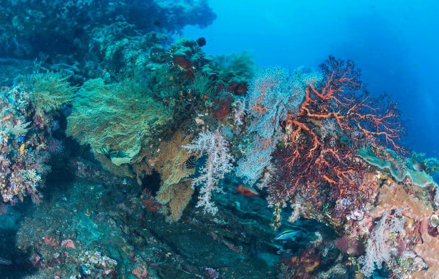 coral en el sitio de buceo Amed