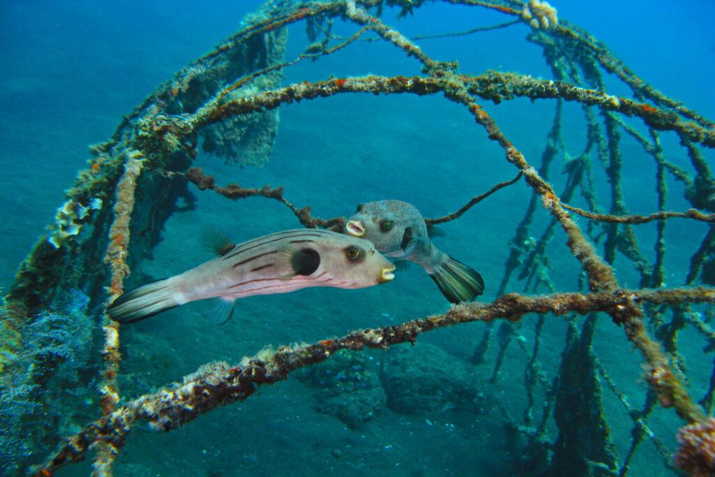 Umweltschutz & Umweltaktivitäten - Kofferfische am künstlichen Riff Amed Ghost Bay - Bali