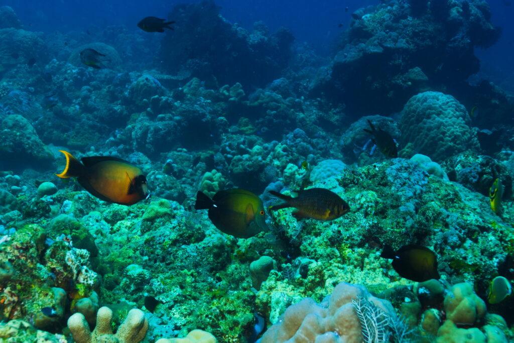 Sites de Plongée & Snorkeling Amed - corail au site de plongée d'Amed Little Wall