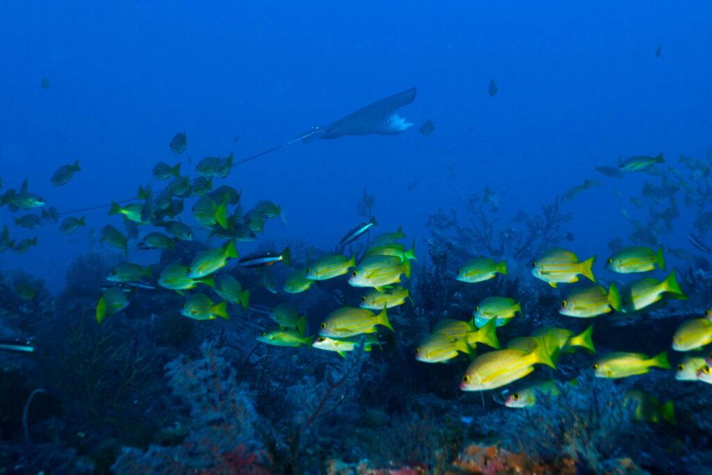 Sites de Plongée & Snorkeling Amed - Raie aigle