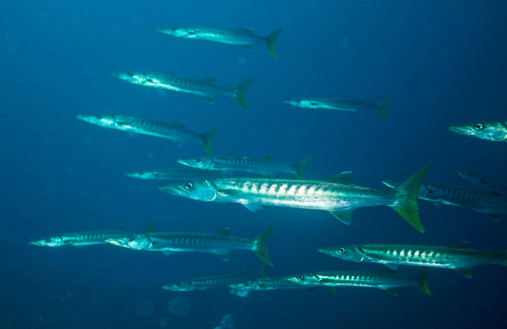 school of barracuda at dive site