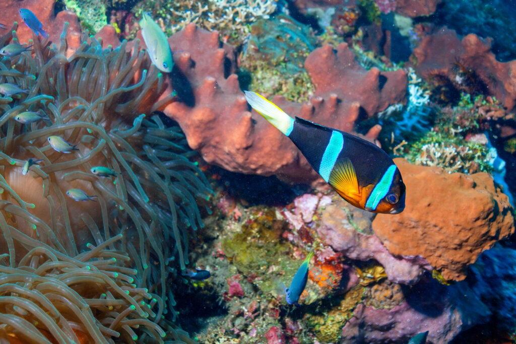 coral blando y peces de coral en el sitio de buceo Amed