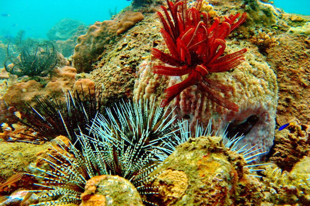 erizos de mar en arrecifes de coral