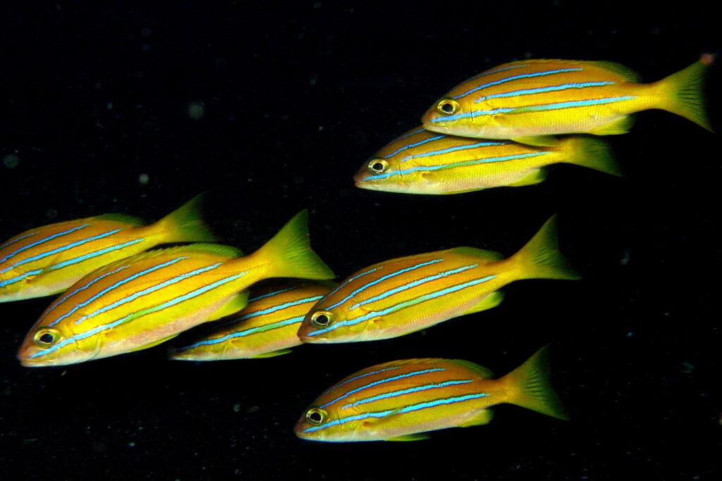 banco de peces amarillos
