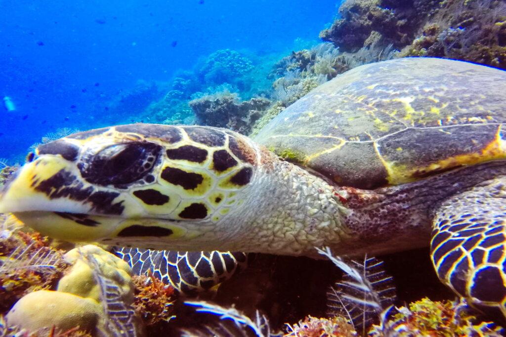 tortuga marina en el sitio de buceo Amed