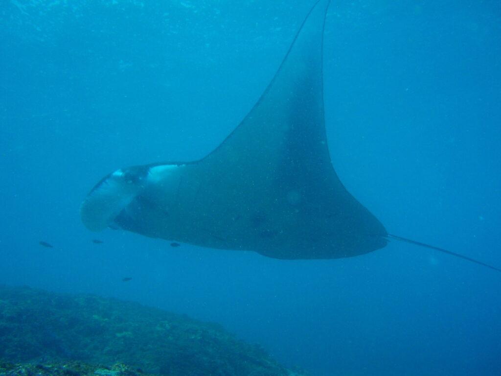 images & information - manta ray at Nusa Penida